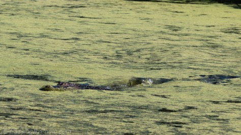 Alligator Looking for Lunch