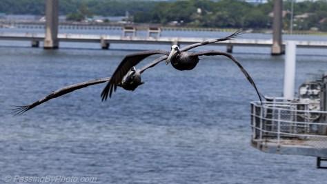 Pelican Pair Gliding Alongside the USS Yorktown