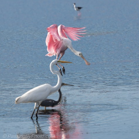 Tricolored Heron and Greet Egret