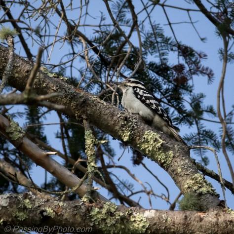 Hairy Woodpeckers