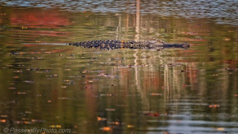 Fall Pond with Alligator