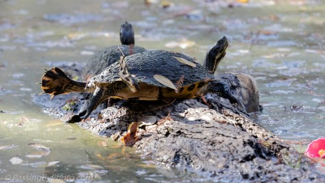 Two Turtles Sharing a Log
