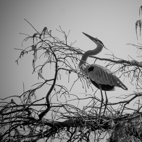 Great Blue Heron Posturing