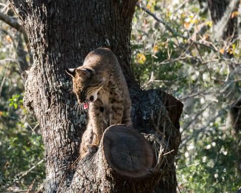 Bobcat at Charlestowne Landing Zoo