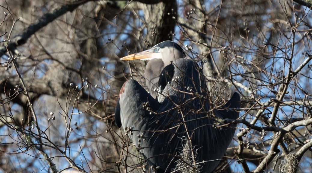Great Blue Heron Sleeping