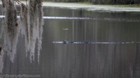 Alligator Swimming Across Pond