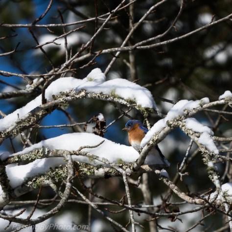 Bluebird in the Snow