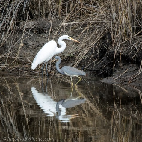 Great Egret and Tricolored Heron