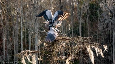 Great Blue Heron Pair Nesting