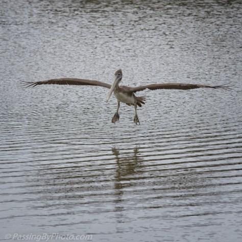 Brown Pelican Landing