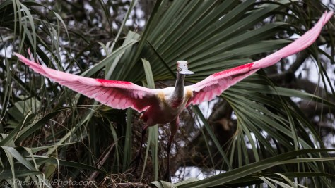 Roseate Spoonbill About to Take Flight