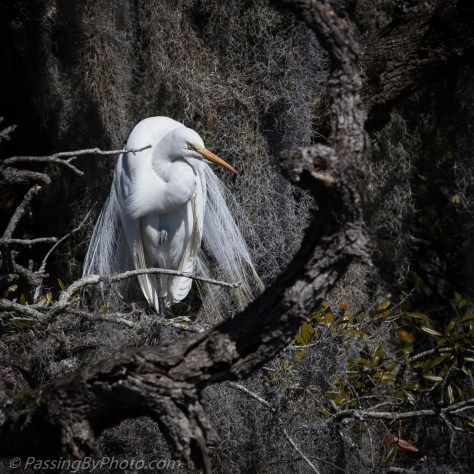 Spanish Moss Draped Perch for Great Egret