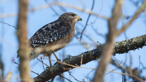 Red-shouldered Hawk With Frog