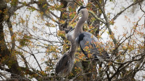 Great Blue Heron with Chick