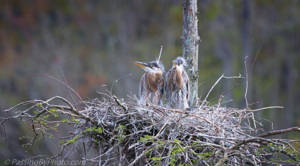 Great Blue Heron Chicks
