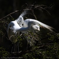 Great Egret Mate Selection: Rejection