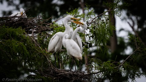 Three Great Egret Chicks