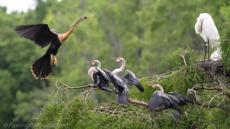 Three Anhinga Chicks