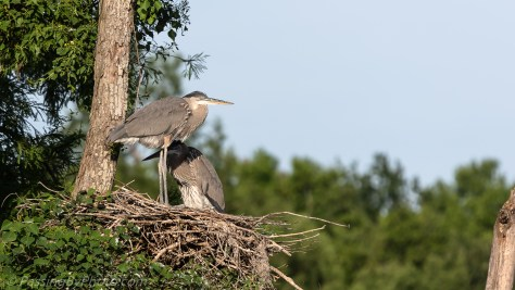 Pair of Great Blue Heron Chicks