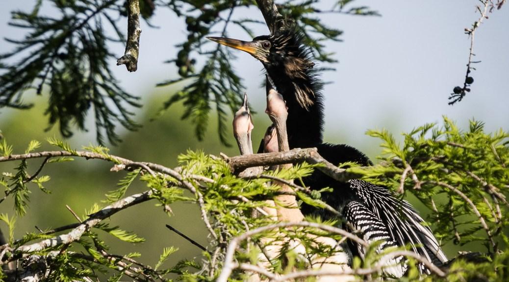 Anhinga Feeding Chicks