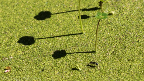 Black Ant on Duckweed