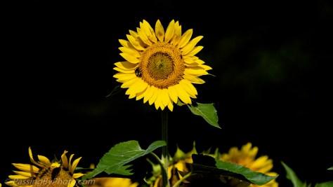 Bee on Sunflower Face