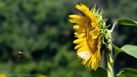 Moth on Sunflower