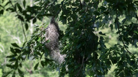 Orchard Oriole Nest