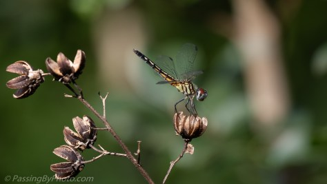 Dragon Fly on Crepe Myrtle Seedpod