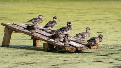 Wood Ducks on Ramp