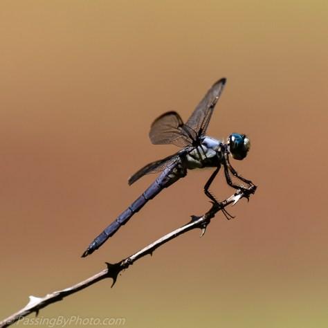 Dragonfly on Stick