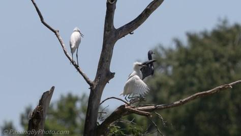 Juvenile Little Blue Herons