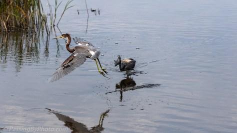 Tricorlored Heron Takeoff
