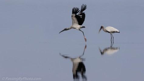 Wood Stork Taking Off