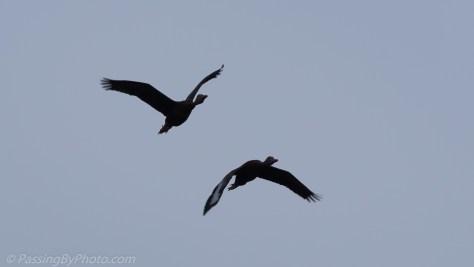 Black-bellied Whistling Duck Pair Flying