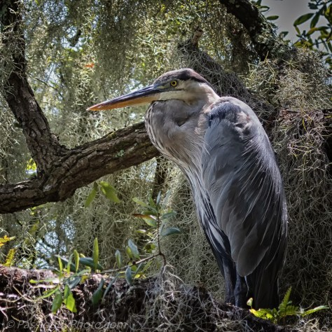 Great Blue Heron In Mossy Tree