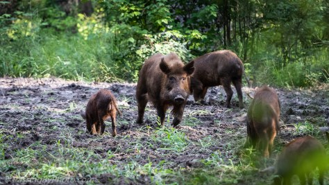 Wild Pig Family