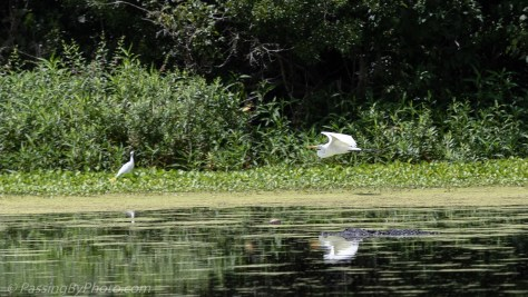 Great Egret Landing Over Alligator