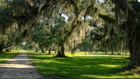 Live Oaks Leading Away from Grove House