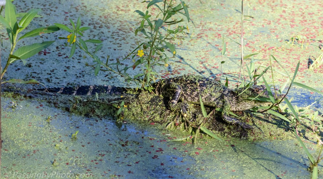 Young Alligator in Grass