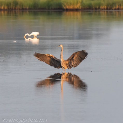 Great Blue Heron Wings Spread for Landing