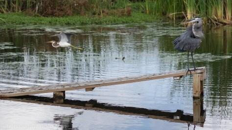 Tricolored Heron Passing Behind Great Blue Heron