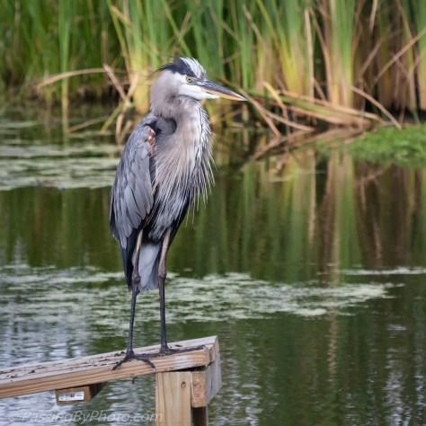 Great Blue Heron on Ramp