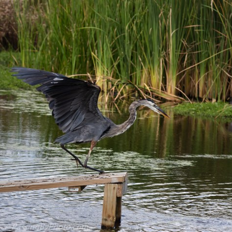 Great Blue Heron: Where Did it Go?