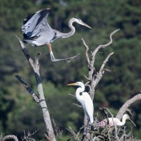 A Heron, an Egret, and a Spoonbill Flew into a Tree...