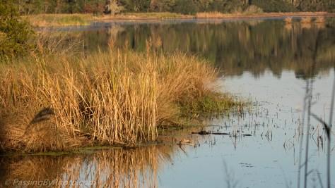 Alligator in the Reeds