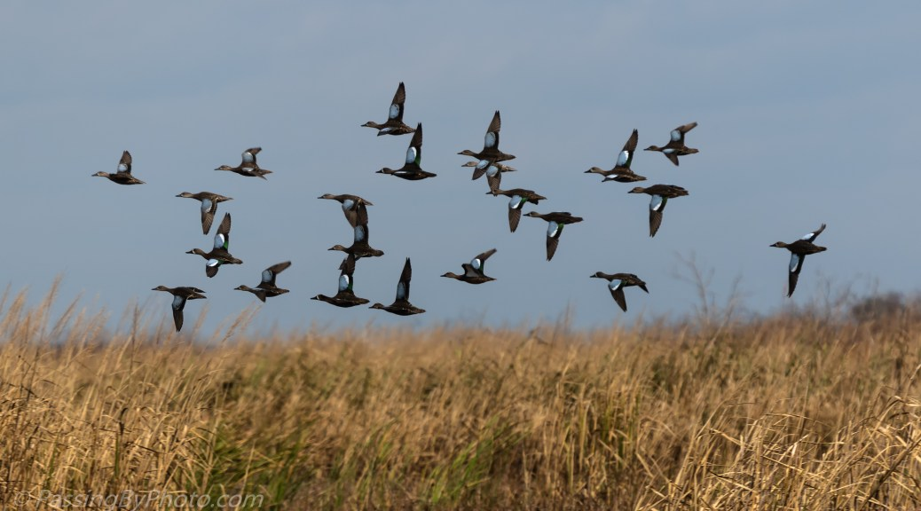 Blue-winged Teals in Flight