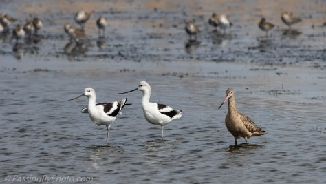 Acocets and Marbled Godwit