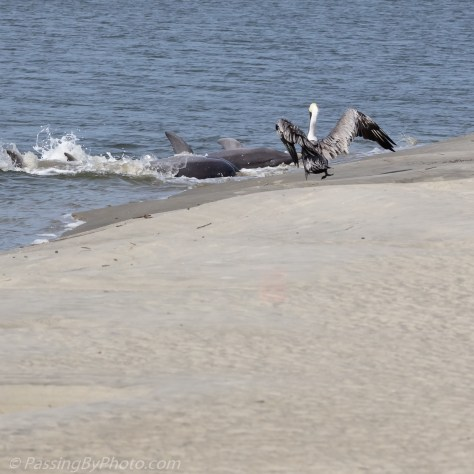 Brown Pelican Watching Dolphins Strand Feed