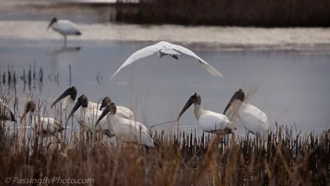 Great Egret Fly Over Wood Storks